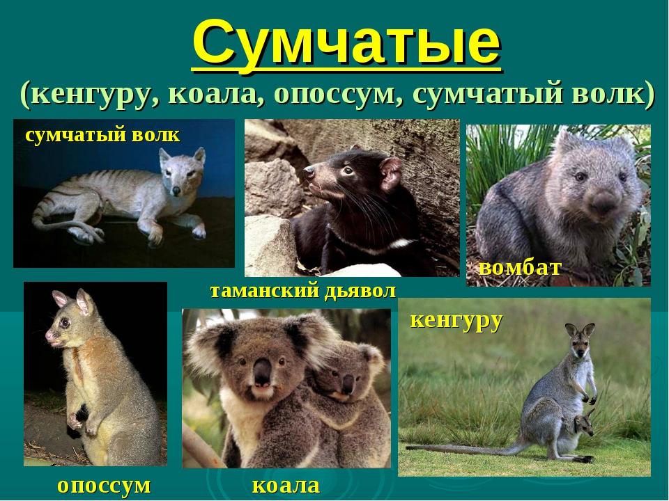 Сумчатые (кенгуру, коала, опоссум, сумчатый волк) опоссум кенгуру сумчатый во...