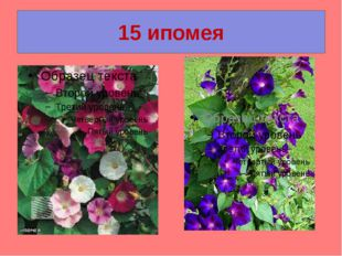 15 ипомея