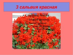 3 сальвия красная