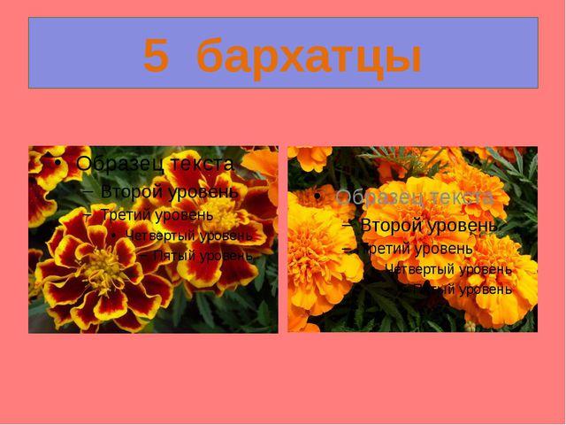 5  бархатцы