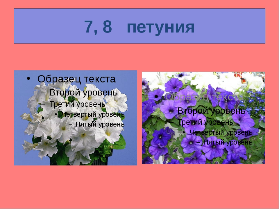 7, 8   петуния