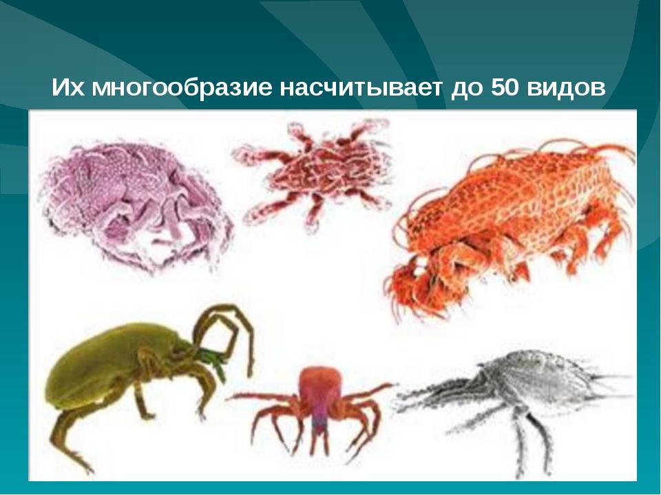 Их многообразие насчитывает до 50 видов