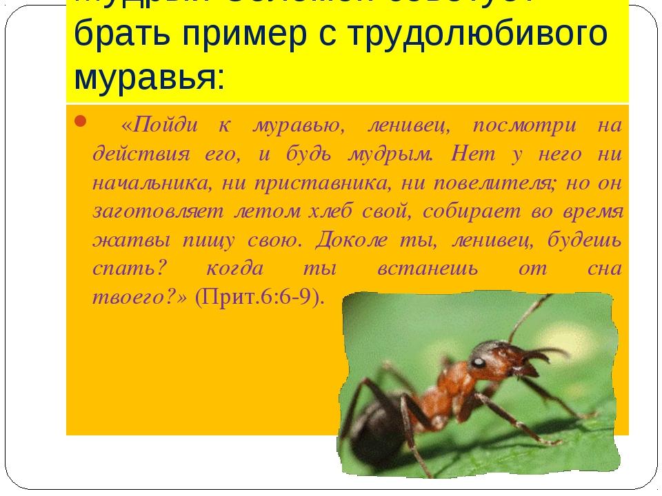 Мудрый Соломон советует брать пример с трудолюбивого муравья:  «Пойди к мура...