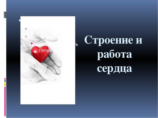 Строение и работа сердца