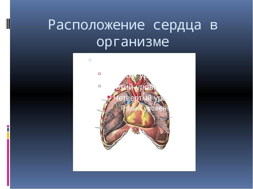 Расположение сердца в организме