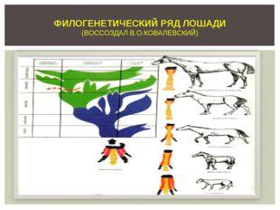 ФИЛОГЕНЕТИЧЕСКИЙ РЯД ЛОШАДИ (ВОССОЗДАЛ В.О.КОВАЛЕВСКИЙ)