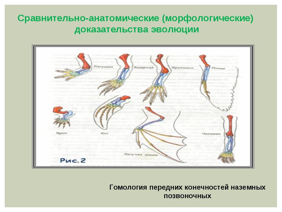 Гомология передних конечностей наземных позвоночных Сравнительно-анатомическ...