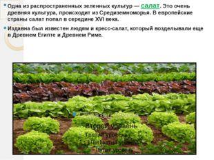 Одна из распространенных зеленных культур — салат. Это очень древняя культура