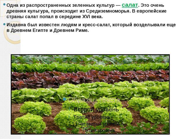 Одна из распространенных зеленных культур — салат. Это очень древняя культура...