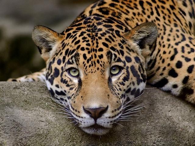 http://wiki.uspi.ru/images/f/f5/Leopardday_nyk3a987.jpg