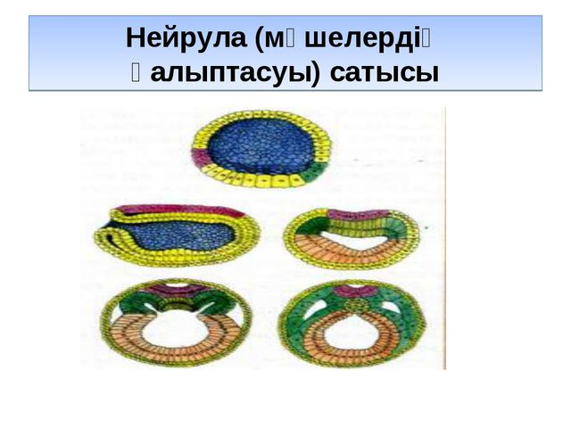 Нейрула (мүшелердің қалыптасуы) сатысы