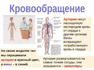 На своих моделях тел мы окрашивали артерии в красный цвет, а вены – в синий.
