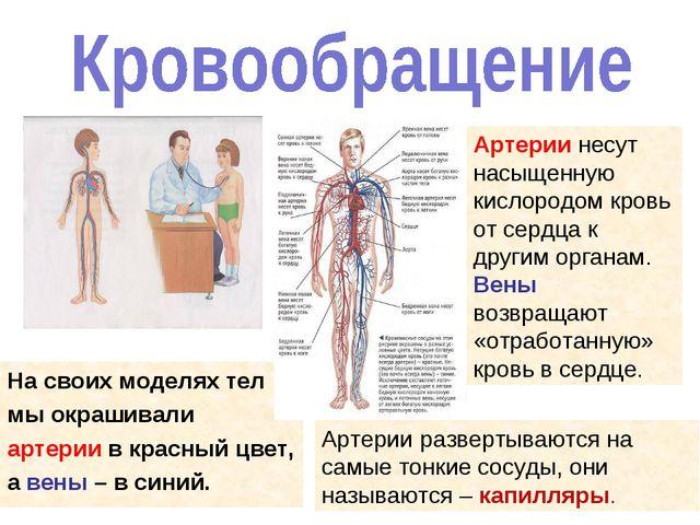 На своих моделях тел мы окрашивали артерии в красный цвет, а вены – в синий....