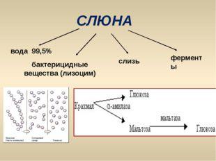 СЛЮНА вода 99,5% бактерицидные вещества (лизоцим) слизь ферменты