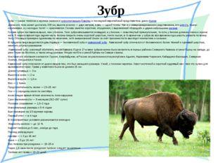 Зубр Зубр— самое тяжёлое и крупное наземноемлекопитающееЕвропыи последний