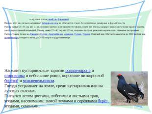 Кавка́зский те́терев Кавка́зский те́терев — крупная птица семейства фазановы