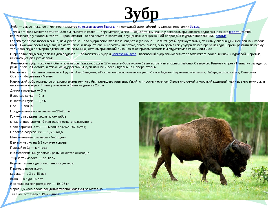 Зубр Зубр— самое тяжёлое и крупное наземноемлекопитающееЕвропыи последний...
