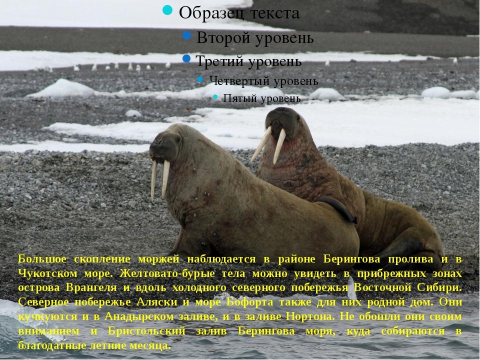 Большое скопление моржей наблюдается в районе Берингова пролива и в Чукотско...