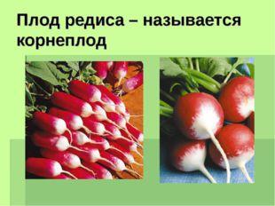 Плод редиса – называется корнеплод