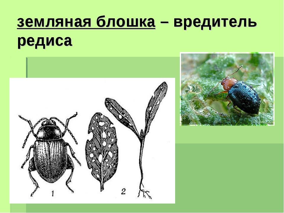 земляная блошка – вредитель редиса