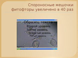 Спороносные мешочки фитофторы увеличено в 40 раз