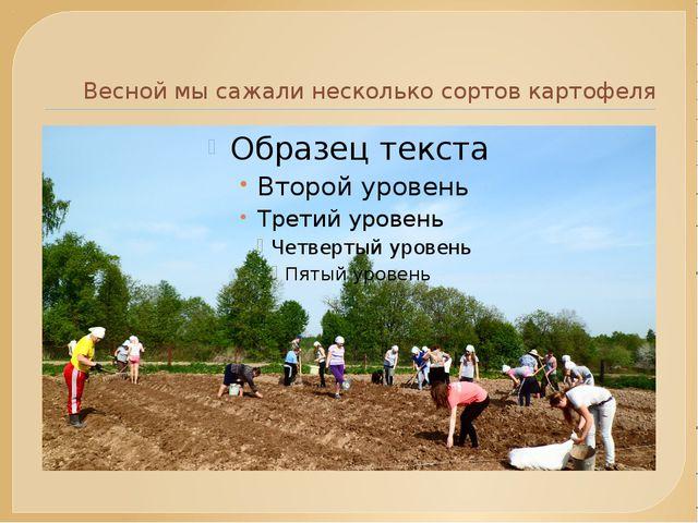Весной мы сажали несколько сортов картофеля