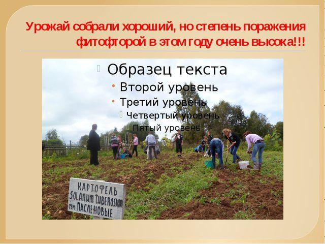 Урожай собрали хороший, но степень поражения фитофторой в этом году очень выс...
