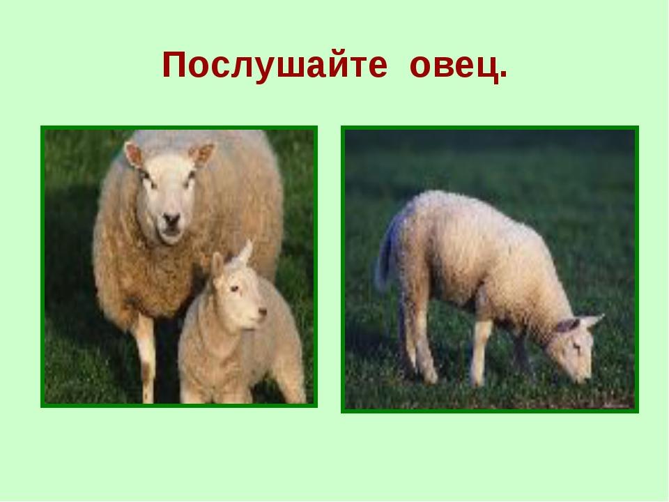 Послушайте овец.