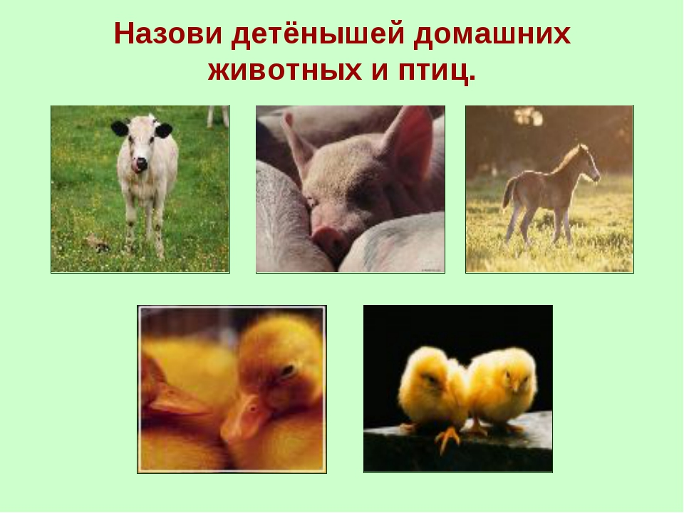 Назови детёнышей домашних животных и птиц.