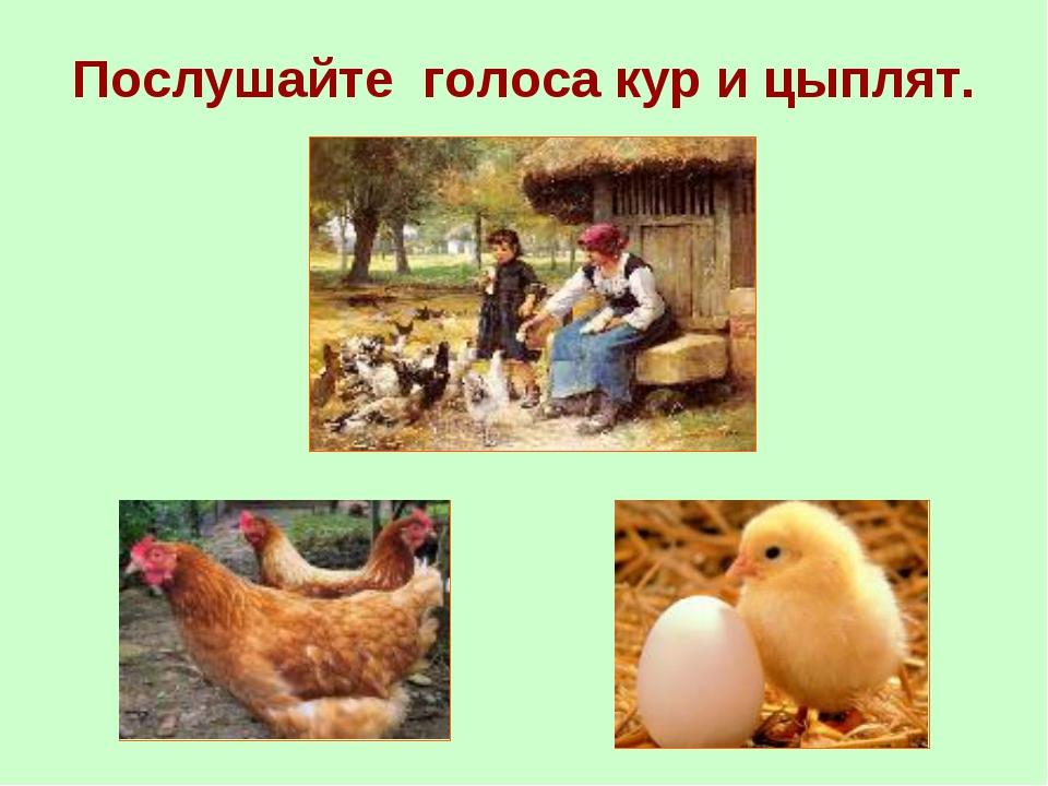 Послушайте голоса кур и цыплят.