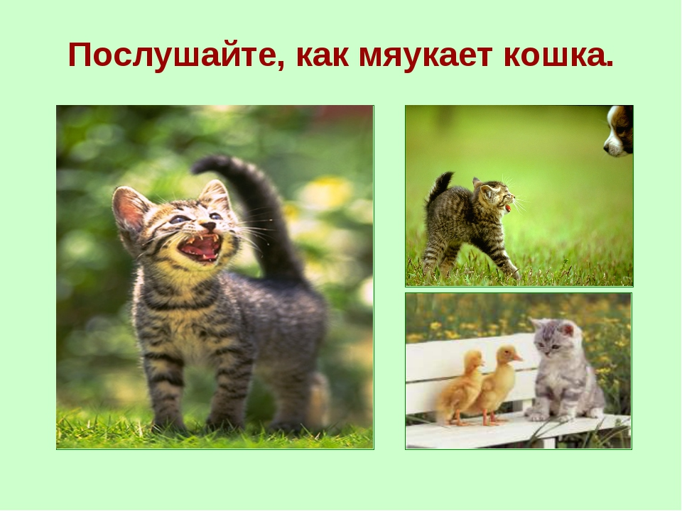 Послушайте, как мяукает кошка.