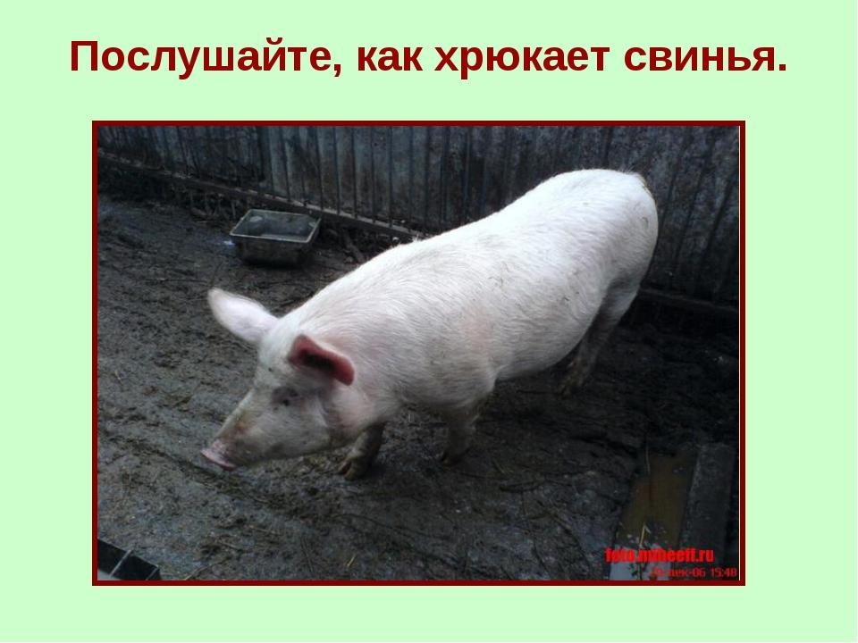 Послушайте, как хрюкает свинья.