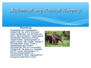 Животный мир Южной Америки Муравьед Муравьед ест муравьёв и термитов, за что