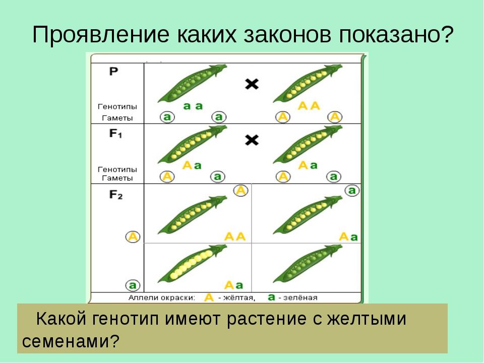 Проявление каких законов показано? Какой генотип имеют растение с желтыми сем...