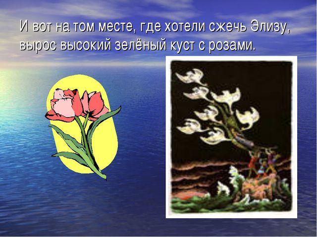 И вот на том месте, где хотели сжечь Элизу, вырос высокий зелёный куст с роза...