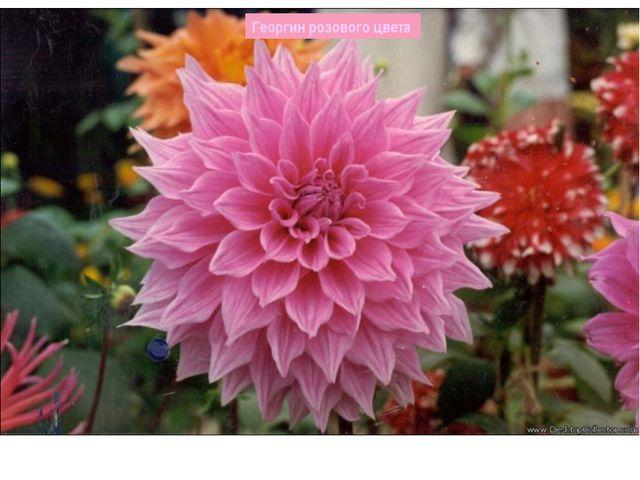 Георгин розового цвета