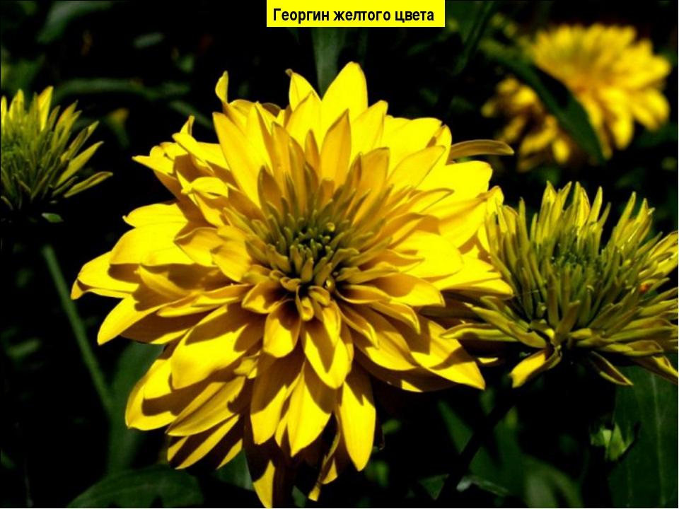 Георгин желтого цвета