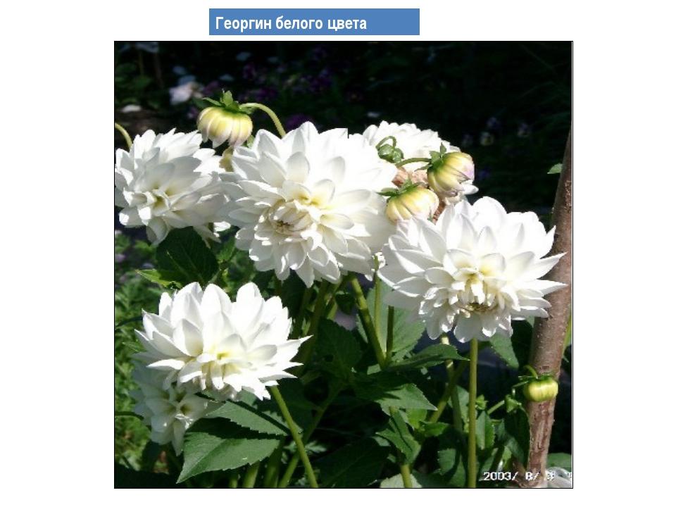 Георгин белого цвета