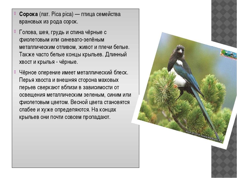 Сорока (лат. Pica pica) — птица семейства врановых из рода сорок. Голова, шея...