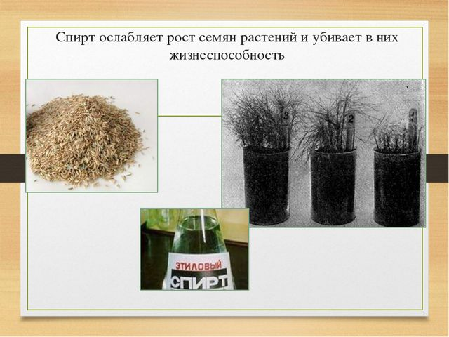 Спирт ослабляет рост семян растений и убивает в них жизнеспособность