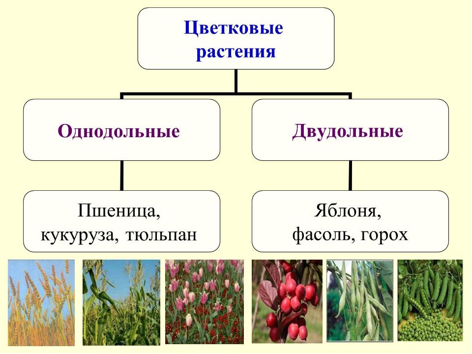 Классы покрытосеменных растений Двудольные2. однодольные