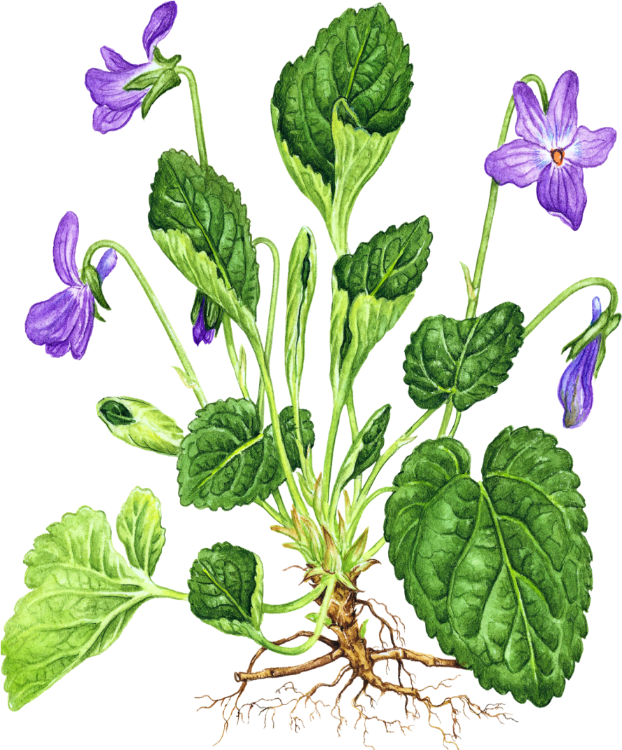 http://gifok.net/images/2015/10/16/Violets_025.png