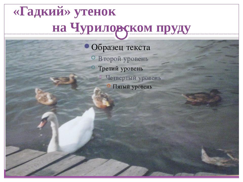 «Гадкий» утенок на Чуриловском пруду