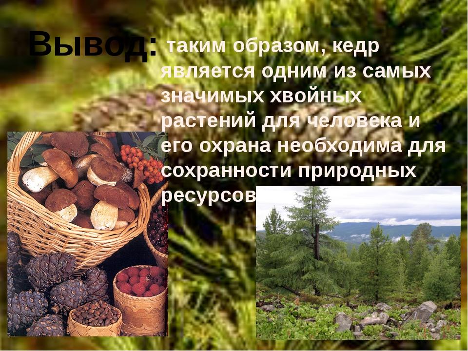 Вывод: таким образом, кедр является одним из самых значимых хвойных растений...