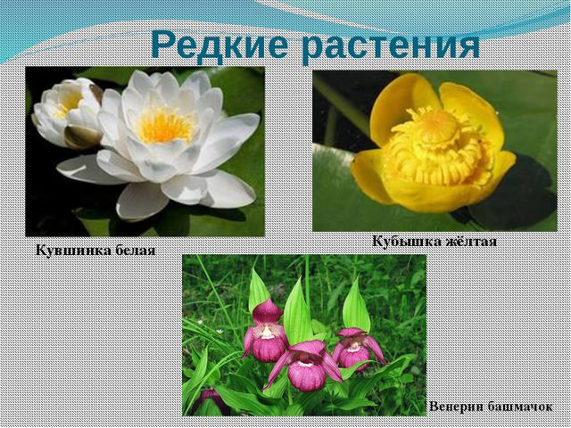 Редкие растения Кувшинка белая Кубышка жёлтая Венерин башмачок