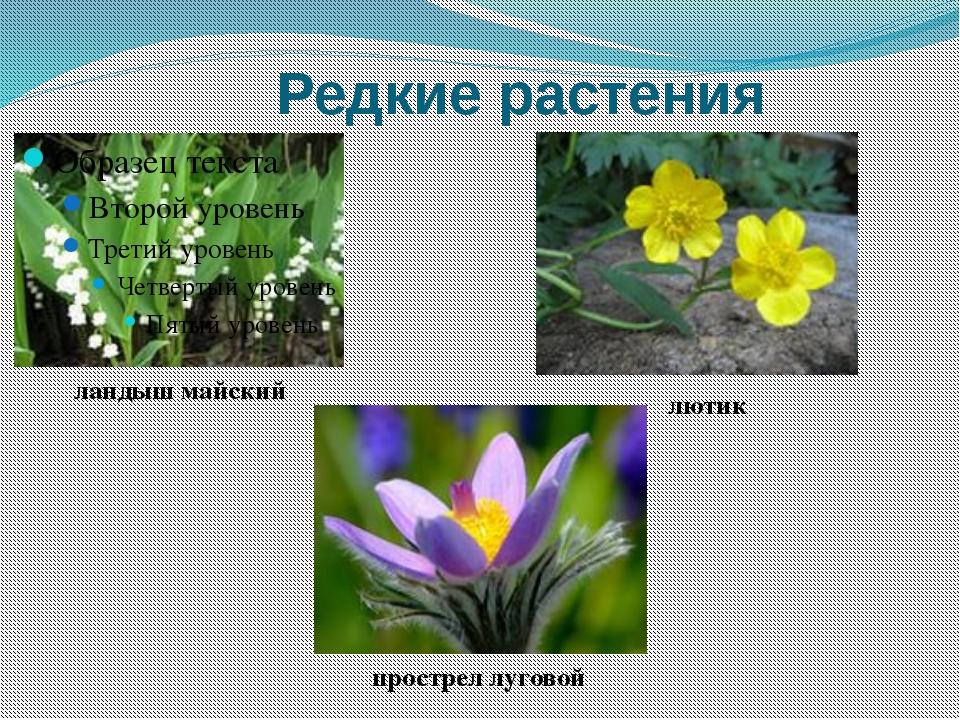 Редкие растения ландыш майский лютик прострел луговой