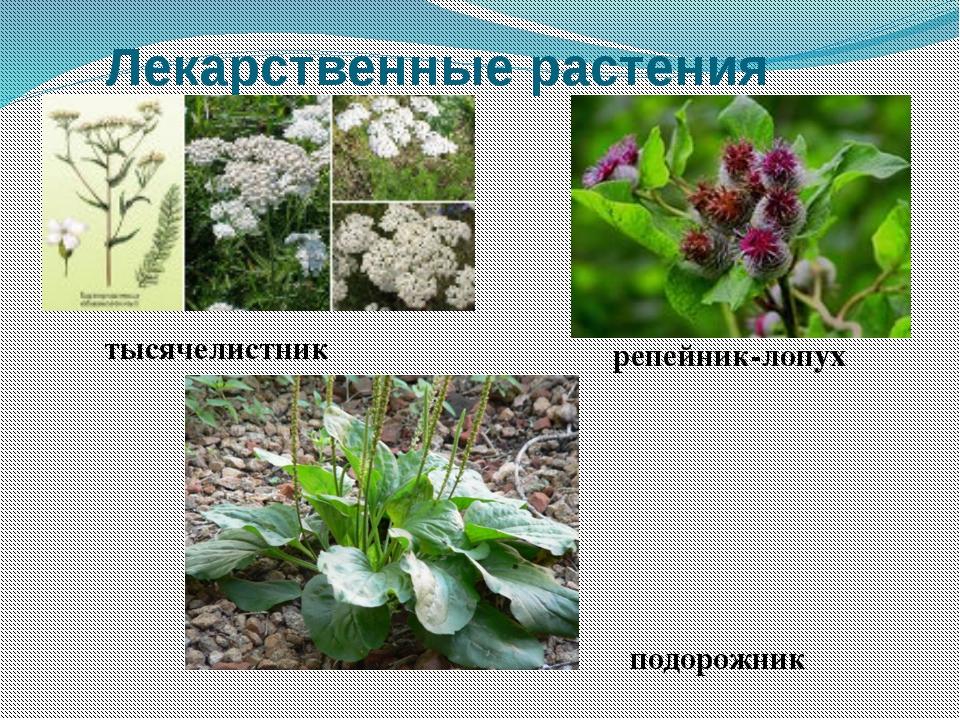 Лекарственные растения тысячелистник репейник-лопух подорожник