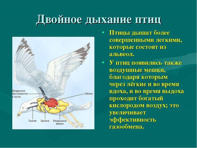 Двойное дыхание птиц Птицы дышат более совершенными легкими, которые состоят...