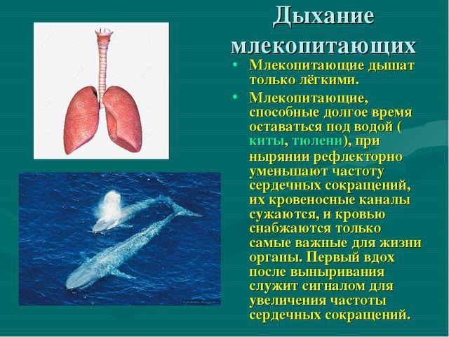 Дыхание млекопитающих Млекопитающие дышат только лёгкими. Млекопитающие, спос...