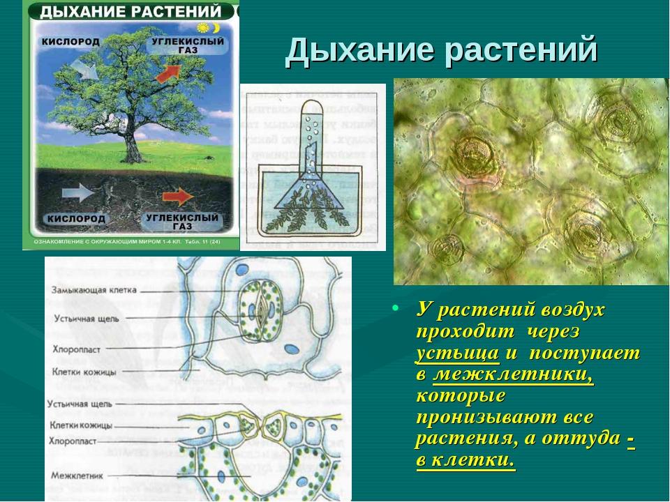 Дыхание растений У растений воздух проходит через устьица и поступает в межкл...